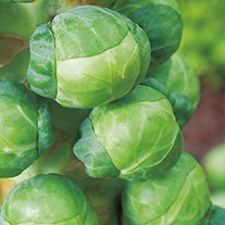 Brussels Sprout Attwood F1 Veg Seeds