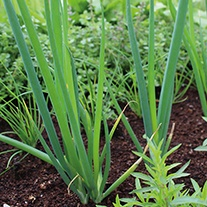 Welsh Onion Veg Seeds