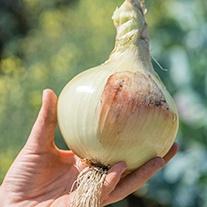Onion Yellow Sweet Spanish Veg Seeds