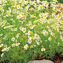 Chamomile Herb Seeds