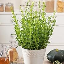 Hyssopus Herb Seeds
