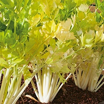 Celery Leaf Wild Herb Seeds