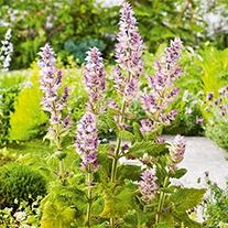Sage Clary Herb Seeds