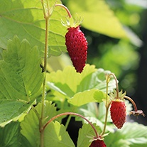 Wild Strawberry Herb Seeds
