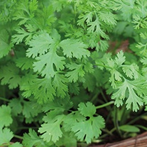 Coriander Lemon Herb Seeds
