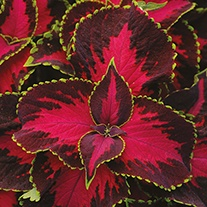 Coleus Chocolate Covered Cherry Flower Seeds