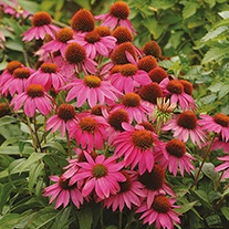 Echinacea PowWow Wild Berry Flower Seeds