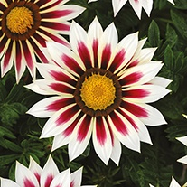 Gazania New Day Rose Stripe F1 Flower Seeds