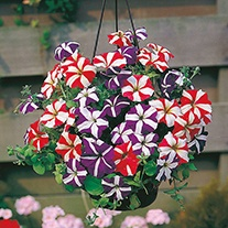 Petunia Stars & Stripes Mixed F1 Flower Seeds