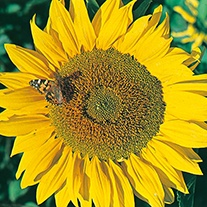 Sunflower Titan Flower Seeds