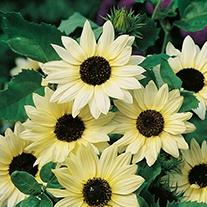 Sunflower Vanilla Ice Flower Seeds