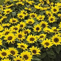 Sunflower Choco Sun Flower Seeds