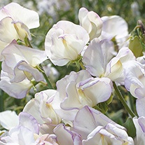 Sweet Pea Hi Scent Flower Seeds