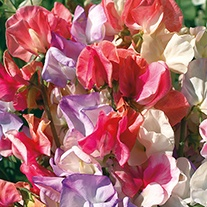 Sweet Pea Incense Mixed Flower Seeds