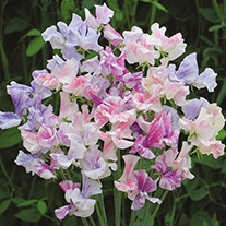Sweet Pea Tiller Girls Flower Seeds