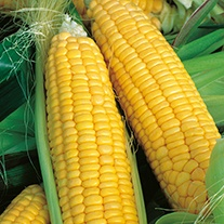 Sweetcorn Bountiful F1 Veg Seeds