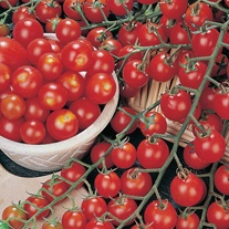 Tomato Favorita F1 AGM (Cherry) Veg Plants