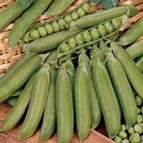 Pea Douce Provence Plants