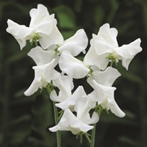 Sweet Pea Jilly Flower Seeds