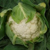 Cauliflower Fortaleza F1