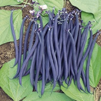 Dwarf French Bean Velour