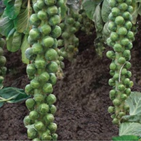 Brussels Sprout Braemar F1