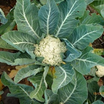 Cauliflower Chinese Sprouting CLXS137 F1