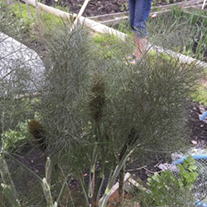 Fennel Bronze Herb Seeds