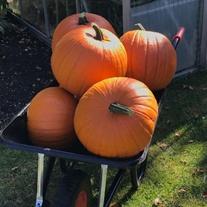 Pumpkin Wicked F1 Seeds
