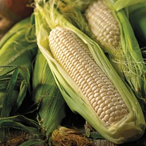 Sweet Corn Amaize F1