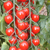 Organic Tomato Bartelly F1 Seeds