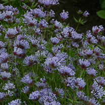 Asperula orientalis - Blue woodruff Flower Seeds