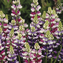 Lupin Avalune Bicolour Mix