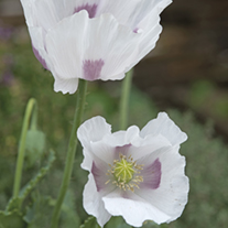 Poppy Maanzaad Flower Seeds