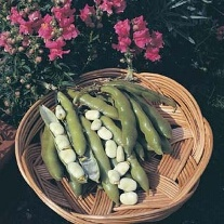 Broad Bean The Sutton AGM Veg Plants