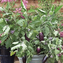 Aubergine Jewel F1 Mix Seeds