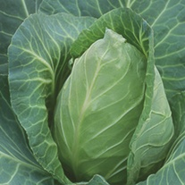 Cabbage Point One F1 Seeds
