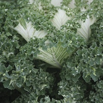 Kale Emerald Ice Seeds