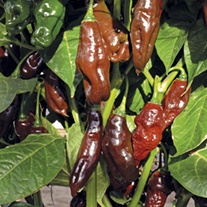 Pepper (Chilli) Machu Picchu Seeds