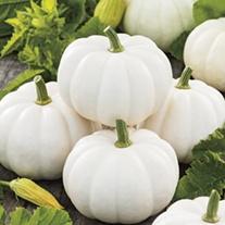 Pumpkin Casperita F1 Seeds