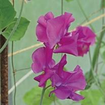 Sweet Pea Sir Cliff Flower Seeds