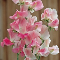 Sweet Pea Terry Wogan Flower Seeds