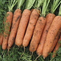Carrot Nazareth F1 Seeds