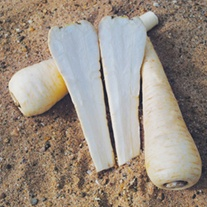 Parsnip Victor F1 Vegetable Seeds