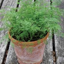 Dill Nano (Dwarf) Herb Seeds