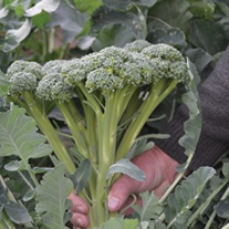 Broccoli Calabrini F1 Vegetable Seeds