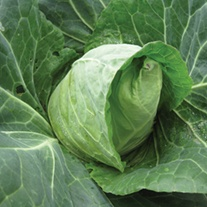 Cabbage Duncan F1 Seeds