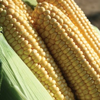 Sweetcorn Earlibird F1 Seeds