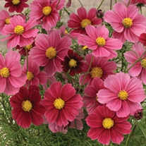 Cosmos Antiquity Flower Seeds