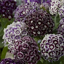 Dianthus Hollandia Purple Crown Flower Seeds